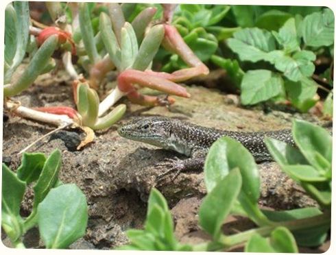 madeira news blog 0911 eiryl Happy lizard Botanical Gardens