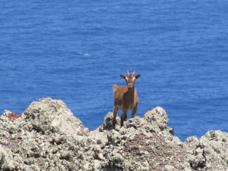Desertas Islands goat