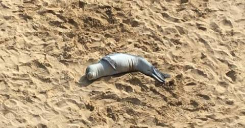 Monk seal cub on Porto Santo beach