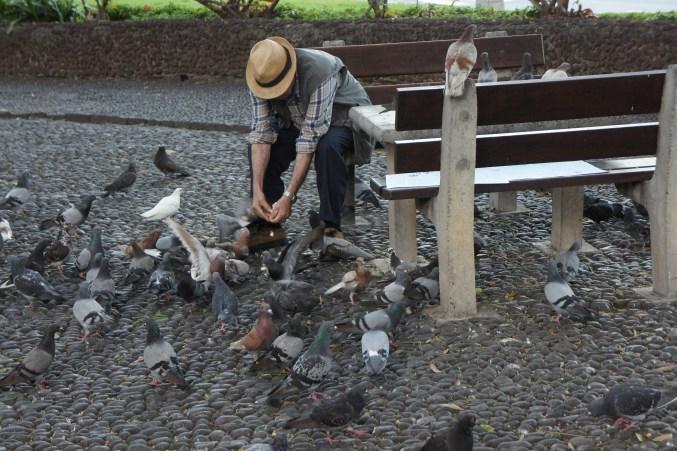 Local feeding pigeons